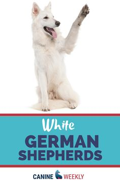 White German shepherds are loving loyal and incredibly intelligent canines typically German Shepherd dogs are very affectionate with family. White German Shepherds are incredibly intelligent and easy to train and they are very adventurous dogs. Top Dog Breeds, Large Dog Breeds, German Shepherd Puppies, German Shepherds, Big Dog Toys, Hypoallergenic Dog Breed, Cute Dog Collars, Cool Dog Houses, White Dogs