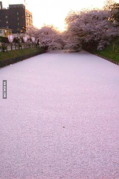 River in Japan filled with cherry blossom petals, i wouldn't mind being proposed to someplace like this, its beautiful.♥