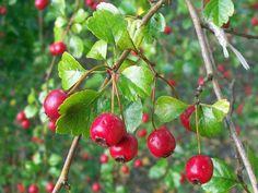 Der Weißdorn unterstützt das Herz und hilft bei Leid und Kummer. Die Beeren kannst du zu leckerem Fruchtmus verarbeiten.