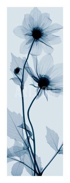 Tall Dahlia Giclee Print by Steven N. Meyers at Art.com