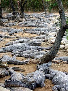 Chennqi's Crocodile Park - Kancheepuram, India. That. Is too many crocodiles.