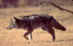 Tolono debating hunt to deal with coyotes | News-Gazette.com