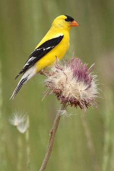 American Goldfinch On Summer Thistle by Max Allen