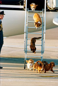 The Queen's dogs coming off the private airplane.