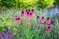 Image detail for -Close up of Coneflowers (Echinacea Pallida) growing in border in the Walled Garden at Scampston Hall, Yorkshire, England, designed by Piet Oudolf selective. Russian Sage, Colorful Garden, Walled Garden, Gallery, Yorkshire England, Green, Plants, Photography, Inspiration