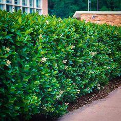 Waxleaf Privet | The Tree Center™