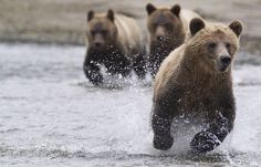 Le grizzli (ou grizzly)