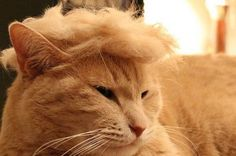 15 Hilarious Pictures Of Cats Looking Like Donald Trump - We Love Cats and Kittens Donald Trump Toupee, Donald Trump Hair, Funny Cats And Dogs, Cats And Kittens, Funny Kittens, Dog Pictures, Funny Pictures, Trump We, Cat Memes