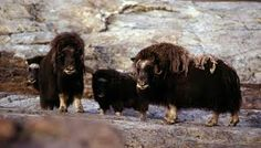 Free interactive quiz on Musk Oxen here: http://easyscienceforkids.com/fun-musk-oxen-quiz-free-interactive-easy-quiz-questions-and-answers-for-kids/