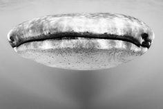ジンベイザメ、正面から