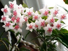 Для многих из нас растения являются просто декоративным элементом — они украшают, оживляют интерьер, поглощают углекислый газ… Однако опытные хозяйки, которые активно занимаются разведением комнатных…