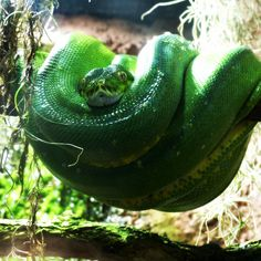 Beautiful Snakes, Munich, Reptiles, Animals, Animales, Animaux, Animal, Animais, Monaco