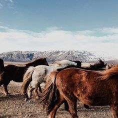 The Icelandic horses' color coats range in many shades, as you can see here. They come in variations of chestnut, dun, bay, black, gray, palomino, pinto and roan. A lovely palette with many different expressions. Via folklifestyle tumblr.