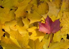 Red Leaf Between Yellow Leaves In Fall Free Stock Photo - Libreshot