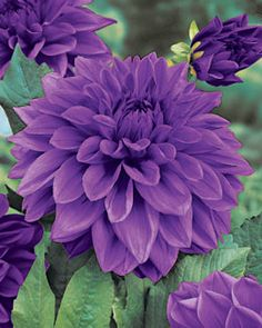 Dahlias - Dinnerplate Lilac Time = HUGE blooms on a 4' plant