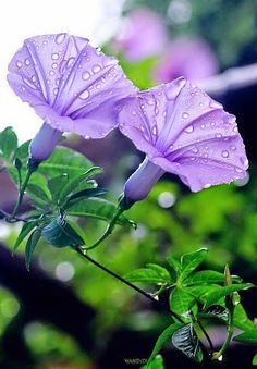 Purple bindweed is a native Texas morning glory.  It is also an aggressive vining plant that will literally grow over anything in its path!! Pretty though..