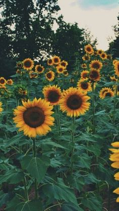 Sunflower iPhone background | wallpaper #IphoneBackgrounds