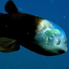 Dumbo Lives In Deep Sea! Don't Believe Us? Meet 18 Strange Sea Creatures That You Don't Know Exist!