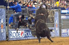 What to holler out if you see a loose bull at RodeoHouston