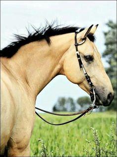 dbee0c19e311327482446f6a6530d2b3--dun-horse-buckskin-horses.jpg (538×720)