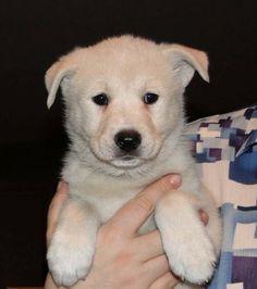 Canaan Puppy - National Dog of Israel #PetsOfIsrael #Puppy
