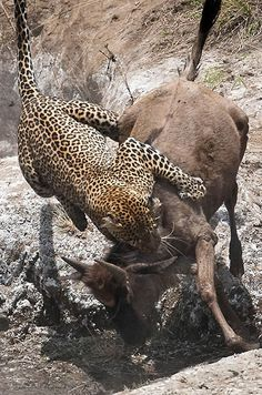 """Leopard kills wildebeest on the Talek river in the Masai Mara, Kenya. """"The female leopard waited a moment, before you jump on one of the victims. Wildebeest ran away, but the predator leaped again, and this time killed prey. Brutally, but incredible. For this shot, I waited three days in the river. """" (Paul Goldstein / Exodus / Rex Features)"""