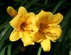 Lovely yellow daylilies!  A post on natural ways to cure headaches
