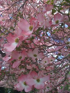 <3 pink dogwood <3. Look forward to seeing this tree bloom every year, then I know it's Spring.