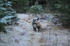"sixpenceee: "" The Fox and the Hound Tinni is a Norwegian dog that belongs to photographer Torgeir Berge in the forests of Norway . While exploring the woods together they came across a wild fox that. Unusual Animal Friendships, Unusual Animals, Cute Animals, Wild Animals, Such Und Find, The Fox And The Hound, Black Labrador, Great Friends, Animal Kingdom"