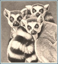 pencil-art-lemurs-11