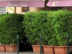 Bambus im Kübel kann eine Terrasse im Garten oder einen Balkon mit einem lebendigen Sichtschutz sehr gut vor neugierigen Blicken schützten.