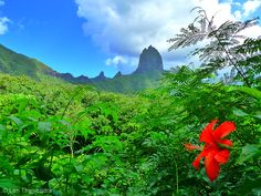 A lone shoe flower in the tropical jungles of Moorea. The jagged peaks are the eroded remnants of a massive ancient volcano's crater wall. #Polynesia #SouthPacific #Travel