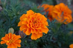 11 Fragrant Plants That Repel Mosquitoes Marigolds contain Pyrethrum, a compound used in many insect repellents. Position potted marigolds near the entrances to your home, as well as common mosquito entry points like open windows to deter the insects from Garden Yard Ideas, Lawn And Garden, Garden Projects, Summer Plants, Summer Flowers, Outdoor Plants, Garden Plants, Fruit Garden, House Plants