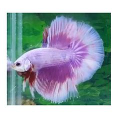 THAI IMPORT Male Pink Butterfly Rosetail Halfmoon Betta SHOW QUALITY LIVE FISH
