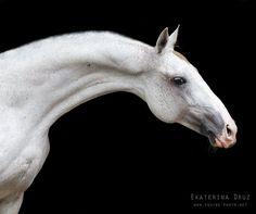 Akhal Teke stallion Pekhimdar (Murgab - Pampa), born 2001, line Posman.