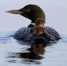 Mother loon and baby. Love the sounds of the Loons, look forward to hearing & seeing them when camping up north!