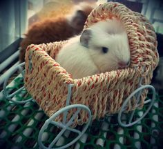 Baby guinea pig in a stroller!