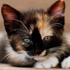 Tricolor Kitten Wallpaper for Android, iPhone and iPad Kitten Wallpaper, Tier Wallpaper, Cute Kittens, Spotted Cat, Cute Cats Photos, Domestic Cat, Beautiful Cats, Crazy Cats, Cat Day