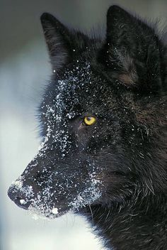 Gray wolf (Canis lupus) black color phase, winter, North America. ©Thomas Kitchin & Victoria Hurst