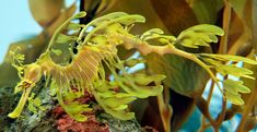 A primeira vista o que vemos é um amontoado de algas marinhas, mas na verdade trata-se da espécie Leafy Sea Dragon (Phycodurus eques), um  cavalo-marinho nativo do sul e do oeste da Austrália . Geralmente permanecem em águas rasas e temperadas. O seu nome provém de sua aparência, com longas folhas como saliências provenientes de todo o corpo.