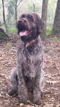 Senna ~ Wirehaired Pointing Griffon ~ Classic Look