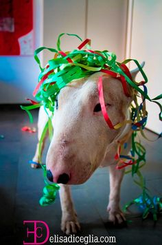 Bull Terrier clown