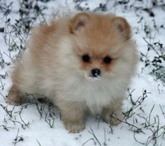 Pomeranian puppy - adorable!