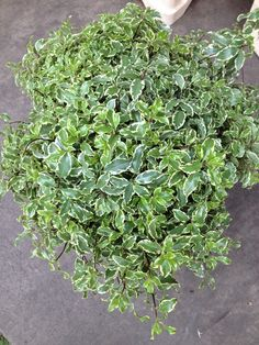 Bucket of Pittosporum...Available from the Flowermonger the wholesale floral home delivery service