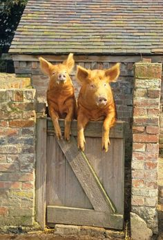 Tamworth Pigs - I love pigs. They are such smart animals that are treated so horribly by the food industry with cages, crates, beatings.... Think about that the next time you eat bacon and ham. So happy to be vegan!