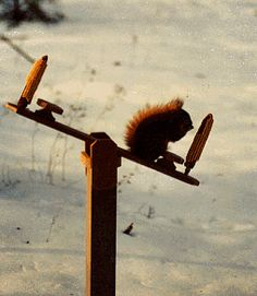 Squirrel feeder teeter totter: Woodworking project for a squirrel fan. Backyard Projects, Outdoor Projects, Wood Projects, Woodworking Projects, Squirrel Feeder Diy, Diy Bird Feeder, Bird House Feeder, Bird Houses, Funny Squirrel