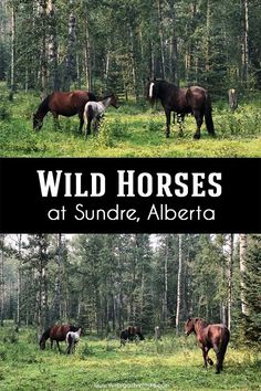 Located about 15 minutes west of Sundre, the Wild Horses of Alberta Society is a must visit! Alberta Travel, Education And Training, We Fall In Love, Wild Horses, Canada Travel, Beautiful Creatures, Day Trips, Adventure Travel, Traveling By Yourself