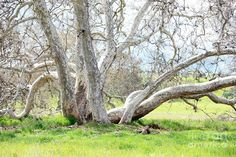 """from """"Thoughts of a Splintergirl"""" I think Sycamore trees are loveliest when they are bare."""