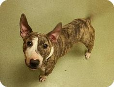 Lovingston, VA - Bull Terrier Mix. Meet Mackenzie a Dog for Adoption.