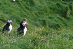 Lunnipariskunnat saapuvat kesäksi Islantiin Vestmannasaarille. #iceland #westmanislands #islanti #vestmannasaaret #lunnit #lintubongaus #puffin #travelling #matkailu
